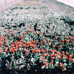 Nebato Park's Tulips grow Strong and Large